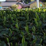 パネル下の農作物に係る状況【経過報告2】