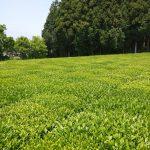 日本古来のミステリー茶