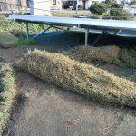 クラピアが防草シートに侵食。クラピアロールの完成。