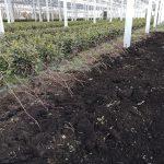 シャインマスカット 苗の仮植え