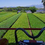 乗用摘採機で新茶の刈り取り -2021年-
