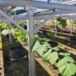 営農型太陽光シャインマスカット根域制限栽培